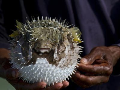 A Man Holds a Puffer Fish