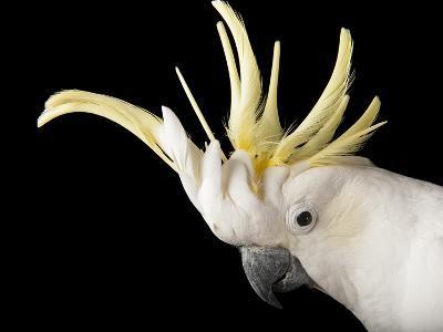 A Sulphur-Crested Cockatoo, Cacatua Galerita