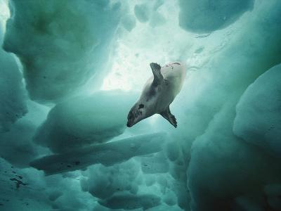 A Harp Seal Swimming Gracefully under Ice.
