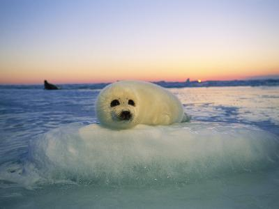 """A Baby Harp Seal Rests on a """"Pillow"""" of Ice"""