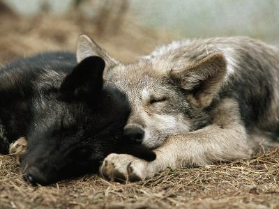 Two Sleeping Gray Wolf Pups