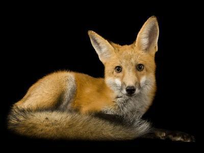 A Red Fox, Vulpes Vulpes