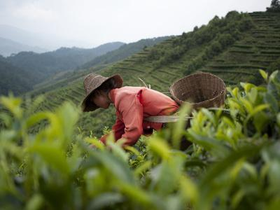 Picking Tea Leaves on a Puer Tea Estate in the Yunnan Province