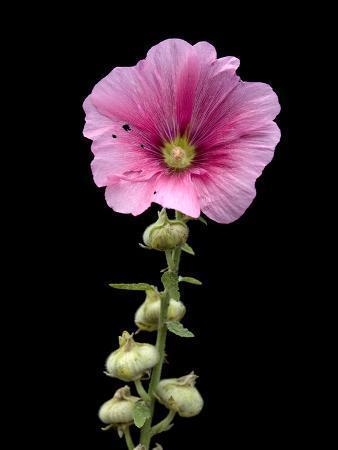A Common Hollyhock Flower, Alcea Rosea