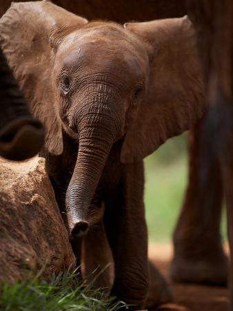 A Wild-Born Elephant Calf