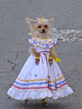 A Dog in Traditional Colombian Country Dress at the Silleteros Parade