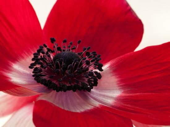 Close Up of a Red Anemone Flower Photographic Print by Darlyne A. Murawski at AllPosters.com