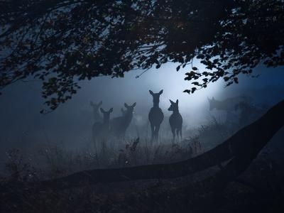 Red Deer, Cervus Elaphus, Gathering on a Misty Morning