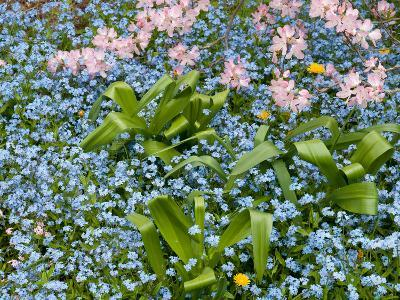 Forget-Me-Nots and Pink Azalea Flowers, in Springtime