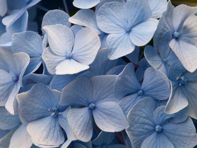 Close Up of Blue Mophead Hydrangea Flowers, Hydrangea Macrophylla