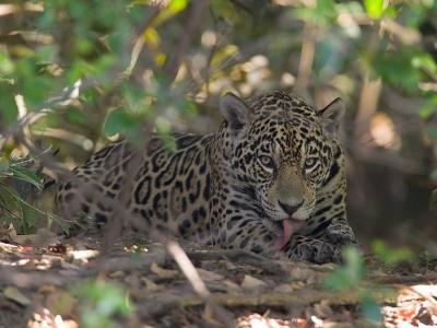 Jaguar, Panthera Onca, Resting in Shade