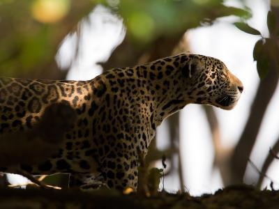 Jaguar, Panthera Onca, Walking in the Shade