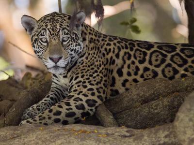 Jaguar, Panthera Onca, Resting in the Shade