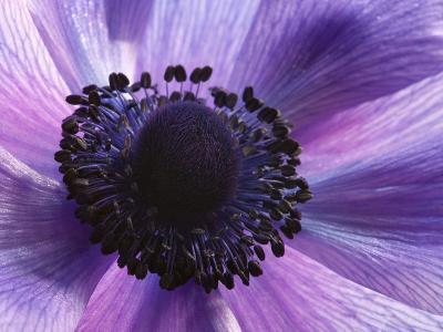 Close Up of a Purple Anemone Flower, Anemone Coronari