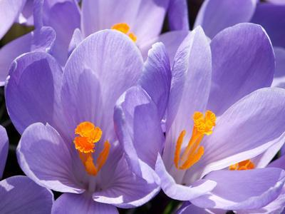 Close Up of Purple Crocus Flowers with Orange Pistil and Stamens