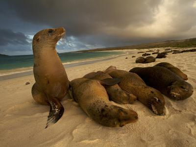 Galapagos Sea Lions, Zalophus Wollebaeki, on the Beach