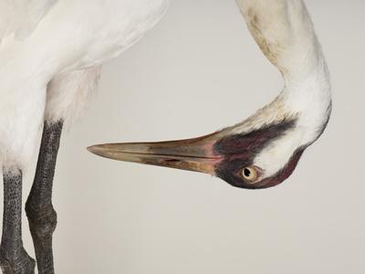 An Endangered Whooping Crane, Grus Americana