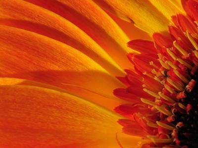 Close Up of a Orange Gerbera Daisy, Gerbera Species