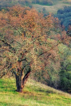 Diablo Winter Oak