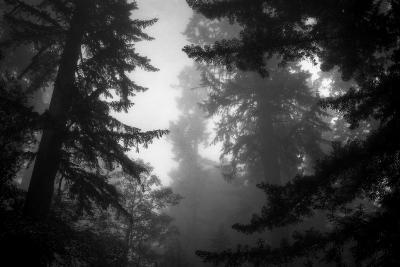Misty Treetops, Redwood National Park