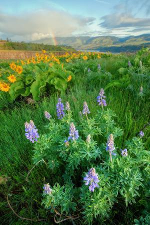 Rowena Flower Field and Rainbow