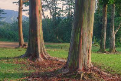 Scene of Rainbow Eucalyptus