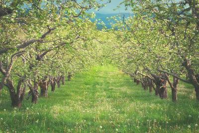 Pear Trees at Hood River Valley, Oregon