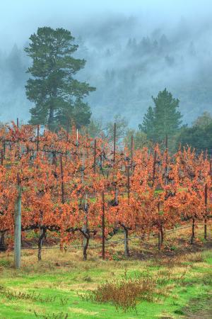 Misty Morning at Napa Vineyard in Autumn