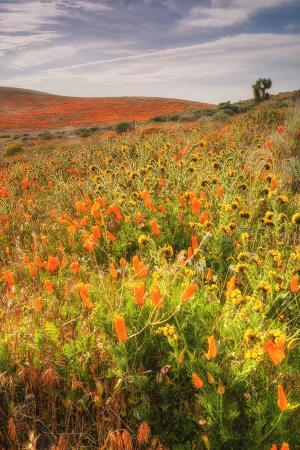 Scene at Antelope Valley Poppy Preserve