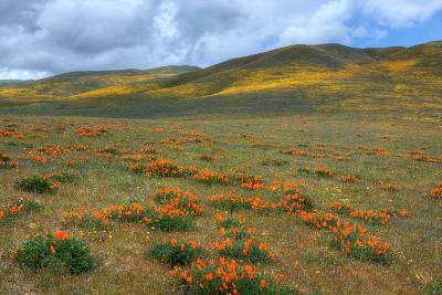 Wildflower Hills of Gorman
