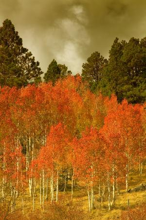 Portrait of Aspens in Autumn