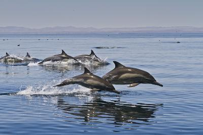 Long-Beaked Common Dolphins, Isla San Esteban, Gulf of California (Sea of Cortez), Mexico
