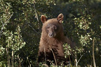 Cinnamon Black Bear (Ursus Americanus), Glacier National Park, Montana, United States of America
