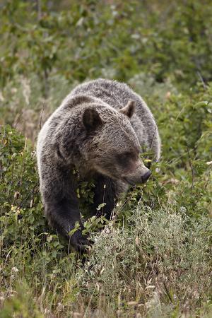 Grizzly Bear (Ursus Arctos Horribilis) Eating Berries, Glacier National Park, Montana, USA