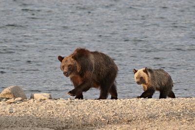 Grizzly Bear (Ursus Arctos Horribilis) Sow and Yearling Cub, Glacier National Park, Montana, USA