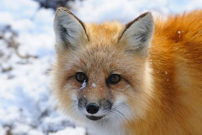 Red Fox, Wapusk National Park, Manitoba, Canada, North America