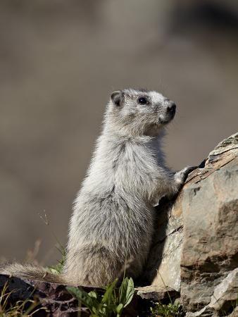 Hoary Marmot (Marmota Caligata), Glacier National Park, Montana, United States of America