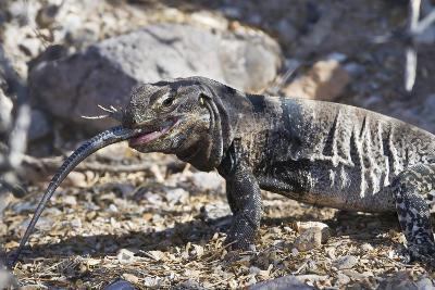 San Esteban Spiny-Tailed Iguana Eating Smaller Lizard, Isla San Esteban, Gulf of California, Mexico