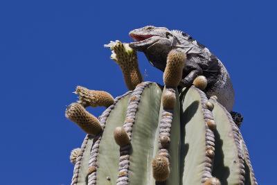 San Esteban Spiny-Tailed Iguana on Cardon Cactus, Isla San Esteban, Gulf of California, Mexico