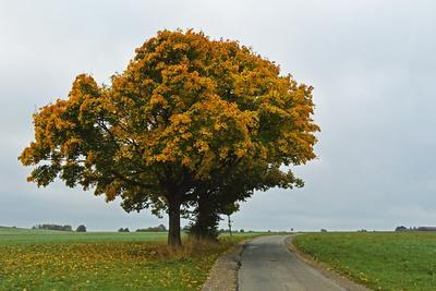 Maple Tree with Autumn Colors, Black Forest, Schwarzwald-Baar, Baden-Wurttemberg, Germany
