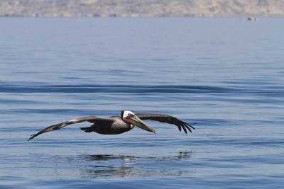 Adult Brown Pelican (Pelecanus Occidentalis), Gulf of California, Baja California, Mexico