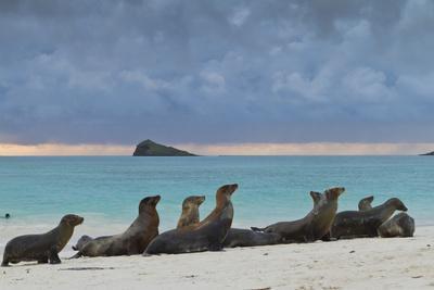 Galapagos Sea Lions (Zalophus Wollebaeki), Gardner Bay, Espanola Islands, UNESCO Site, Ecuador