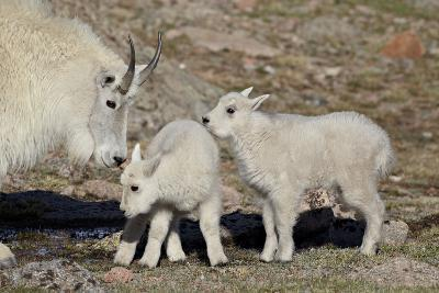 Mountain Goat Nanny and Kids, Mt Evans, Arapaho-Roosevelt Nat'l Forest, Colorado, USA