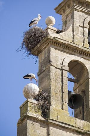 Two European White Storks and their Nests on Convent Bell Tower, Santo Domingo, La Rioja, Spain