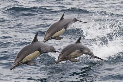 Long-Beaked Common Dolphin, Isla San Esteban, Gulf of California (Sea of Cortez), Mexico