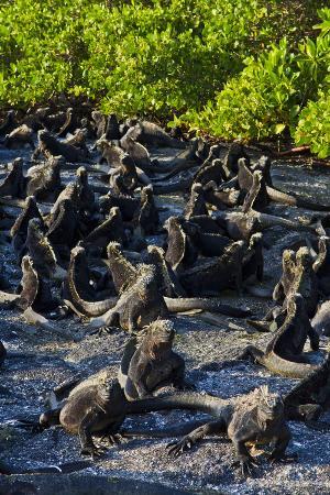 Galapagos Marine Iguanas (Amblyrhynchus Cristatus), Fernandina Island, UNESCO Site, Ecuador