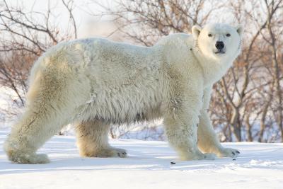 Polar Bear (Ursus Maritimus), Wapusk National Park, Churchill, Hudson Bay, Manitoba, Canada