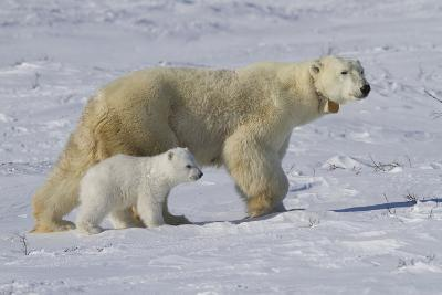 Polar Bear (Ursus Maritimus) and Cub, Wapusk National Park, Churchill, Hudson Bay, Manitoba, Canada