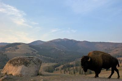Bison and Mount Washburn in Early Morning Light, Yellowstone Nat'l Park, UNESCO Site, Wyoming, USA