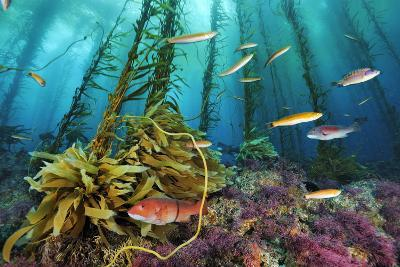 A sheephead and wrasses swim through a forest of coralline algae.